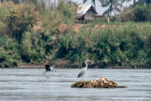 2 Egrets hunting for fish in the Mekong River
