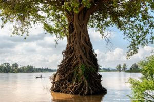 Boatman and beautiful tree roots in Mekong flooded forests of Ramsar Wetlands