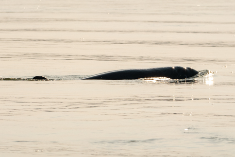 Mekong freshwater Irrawaddy dolphin