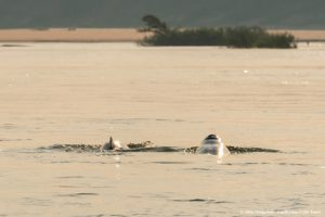Mekong freshwater Irrawaddy dolphins