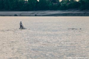 Mekong freshwater Irrawaddy dolphin tail