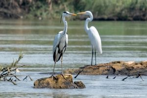 2 Egrets standing on the rock in the Mekong River