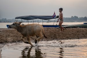 Cambodian boy with water buffalos