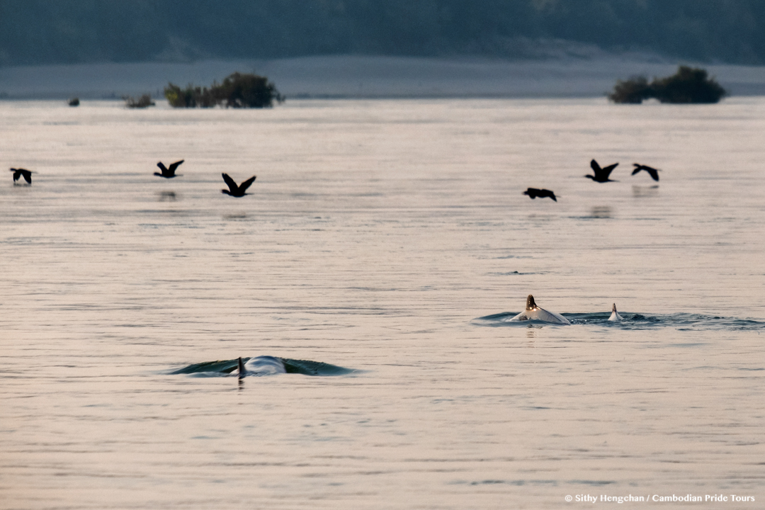 Mekong freshwater Irrawaddy dolphins with birds flying above them