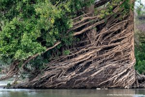 Tree roots of Mekong flooded forests in Ramsar Wetlands